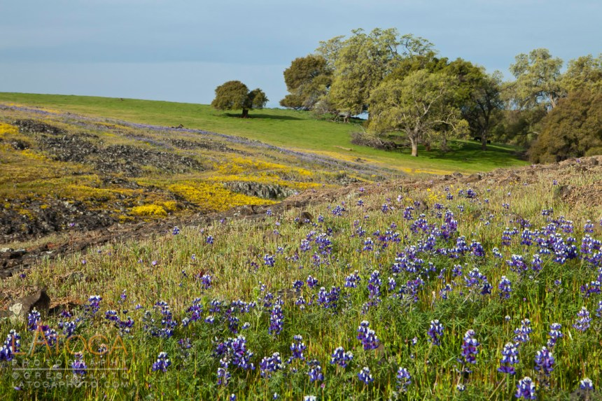 Purple Lupin and yellow wildflowers growing along a gully on Table Mountain near Oroville, CA.