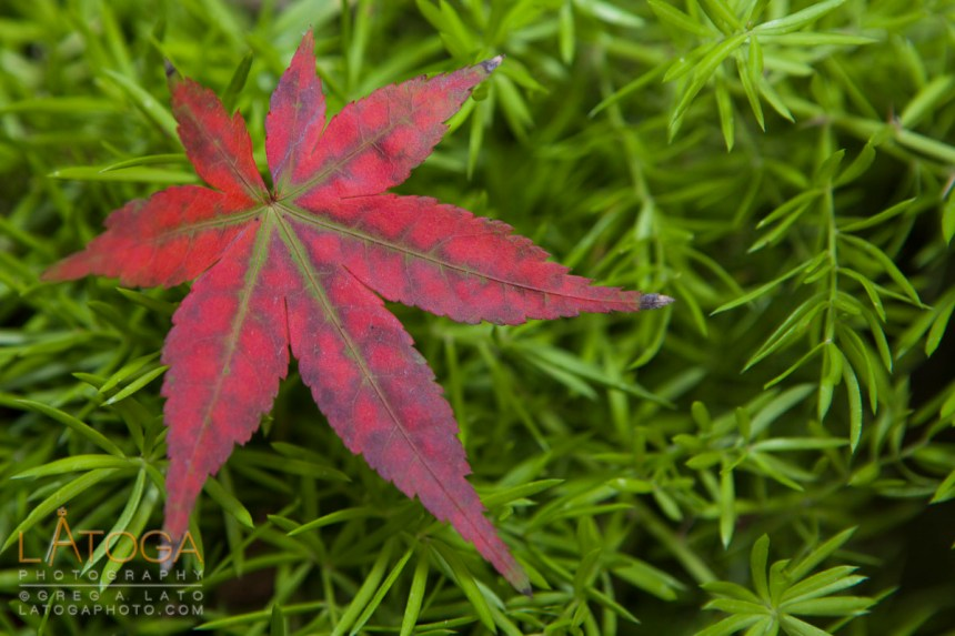 Close up view of a color graduated Japanese Maple (Acer palmatum) leaf.