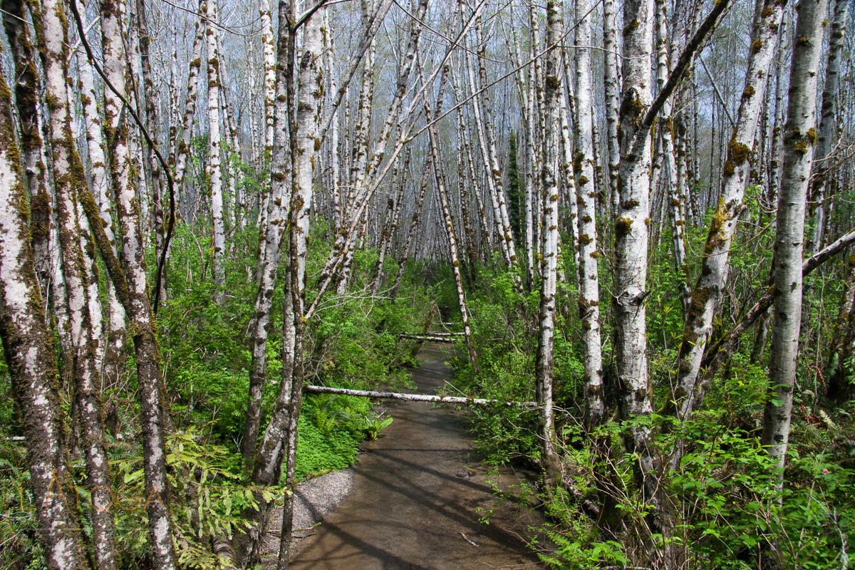 Creek Through Birch Trees