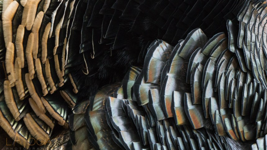 Close up of Wild Turkey Feathers (Meleagris gallopavo)
