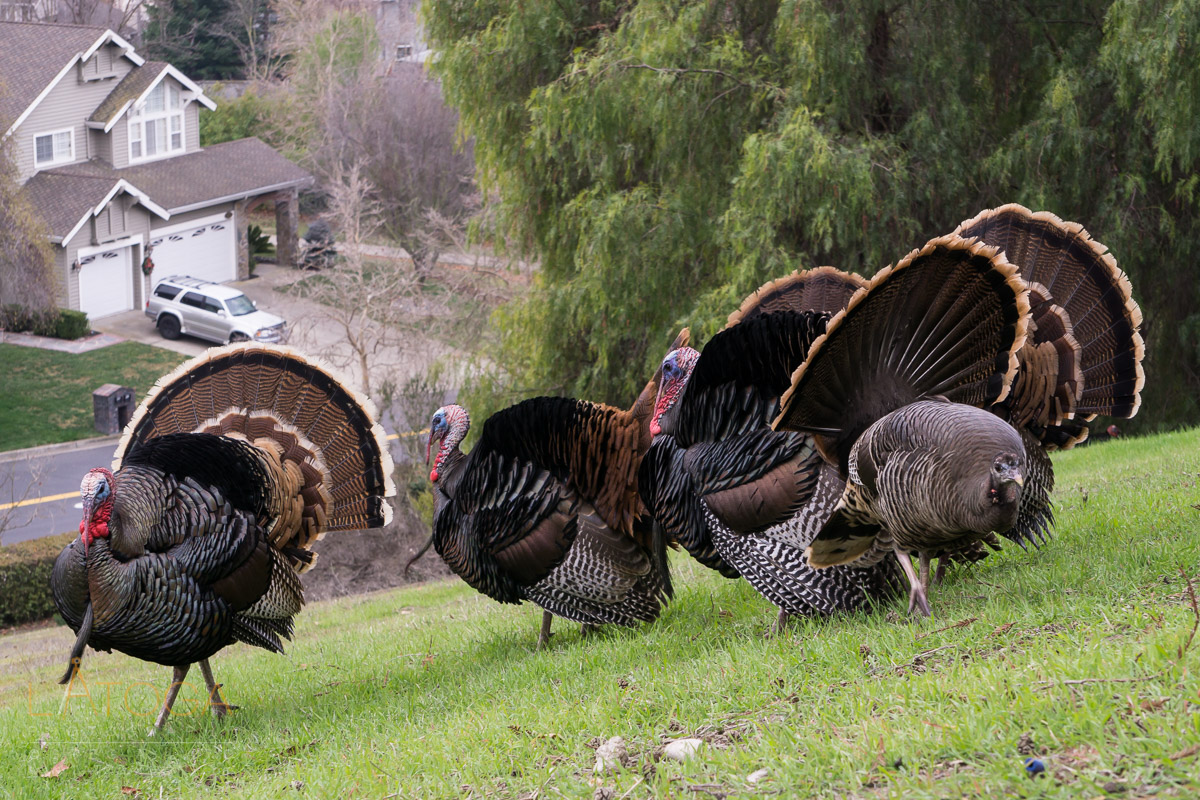 Group of Male Wild Turkeys during Mating Season