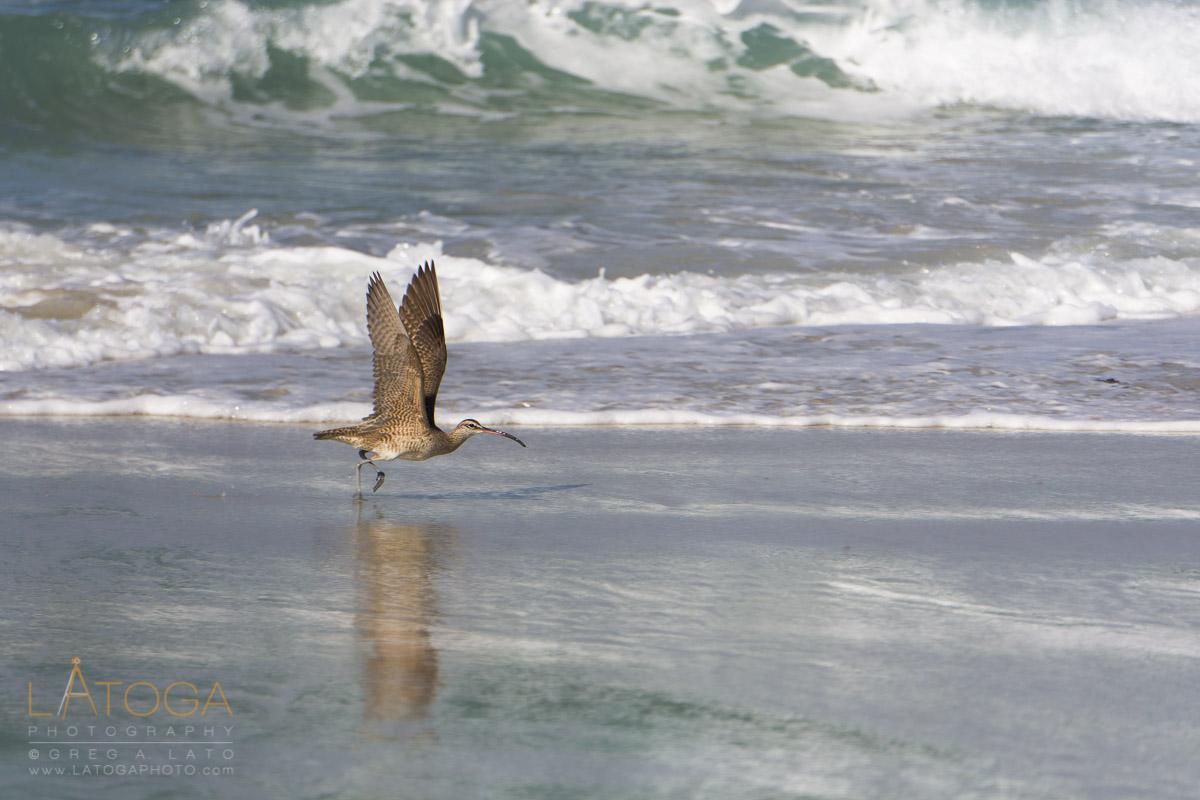 A Long-Billed Curlew (Numenius americanus) at Asilomar State Beach, California