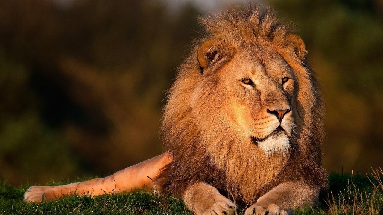 lion-794962_1280