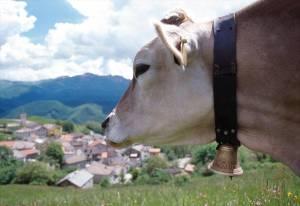 Vacca al pascolo a Valbona, Appennino Reggiano