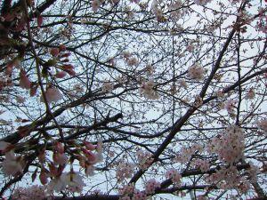 春の訪れ 桜五分咲き