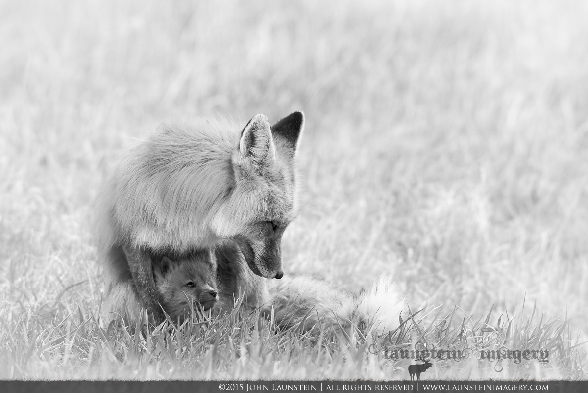 A red fox kit looks up lovingly at its mom after nursing. Photographed in Waterton Lakes National Park, Alberta, Canada.