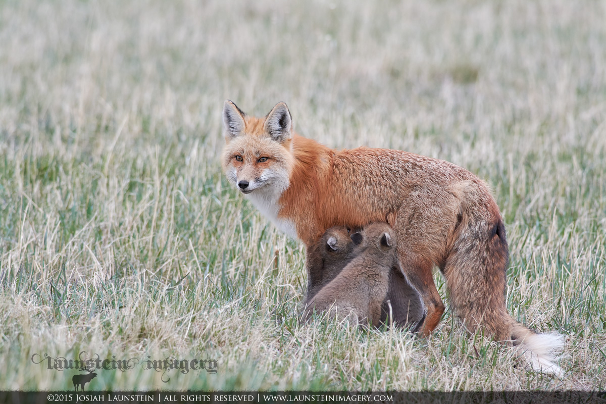 A red fox vixen nurses her young kits while keeping an eye out for danger in Waterton Lakes National Park, Alberta, Canada.