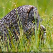 Marlise Launstein's picture of a Great Grey Owl holiding its prey