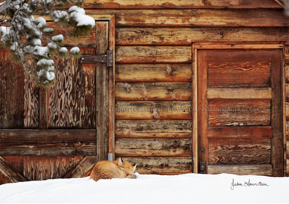 Long Winter's Nap - A Red Fox tucks in under the shelter of a log cabin as a cold winter storm begins to build at the base of the Rocky Mountains in Waterton Lakes National Park, Canada | ©2014 John Launstein | All Rights Reserved | www.launsteinimagery.com