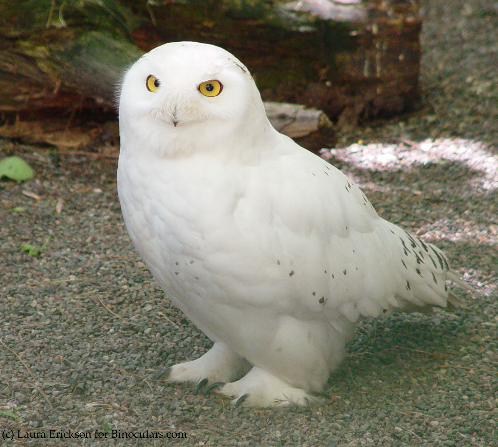 laura s birding blog hedwig