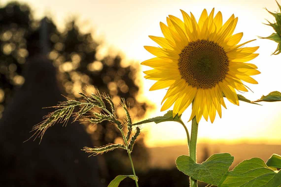 sunflower during sunset