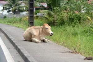 cow on the sidewalk