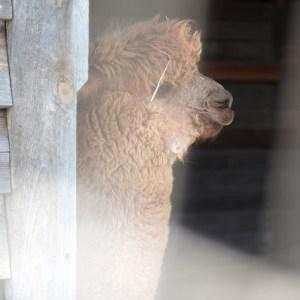 Alpaca in the barn