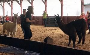 stubborn llama
