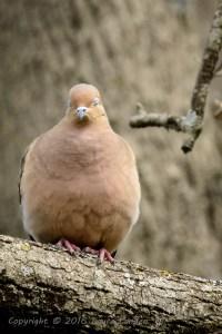 Mourning Dove Blink