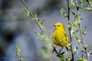 This Yellow Warbler male was quite a show-off.