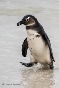 Young Penguin After Swim
