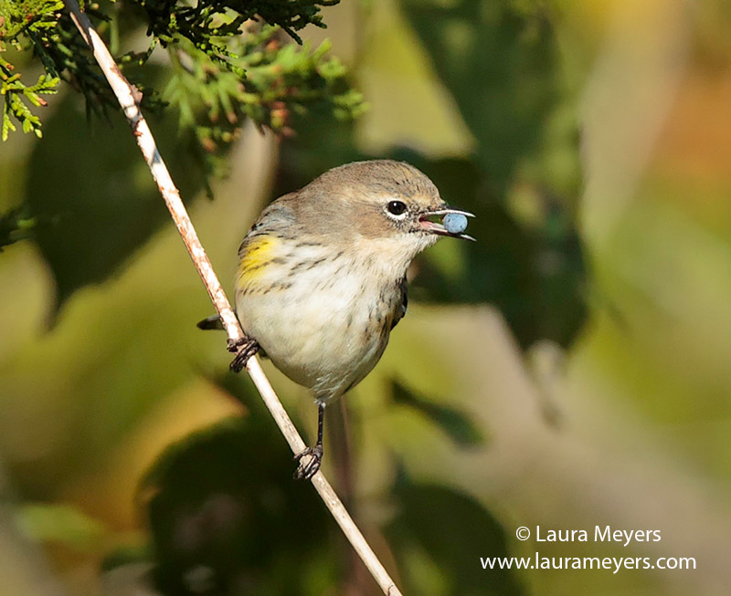 Yellow-rumped Warbler with Berry
