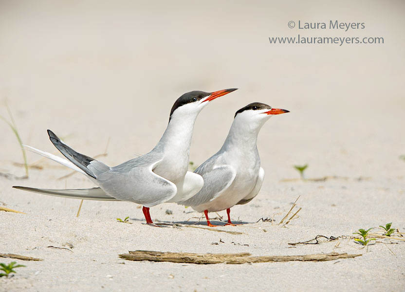 Common Tern Pair