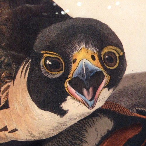Detail from an Audubon print at the Bell Museum