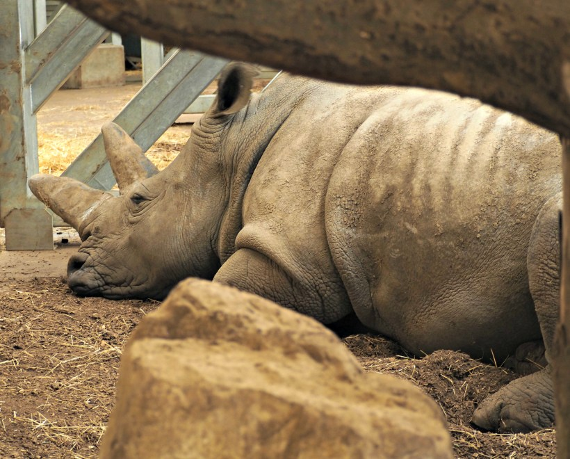 Close up of a Rhino at Marwell Zoo
