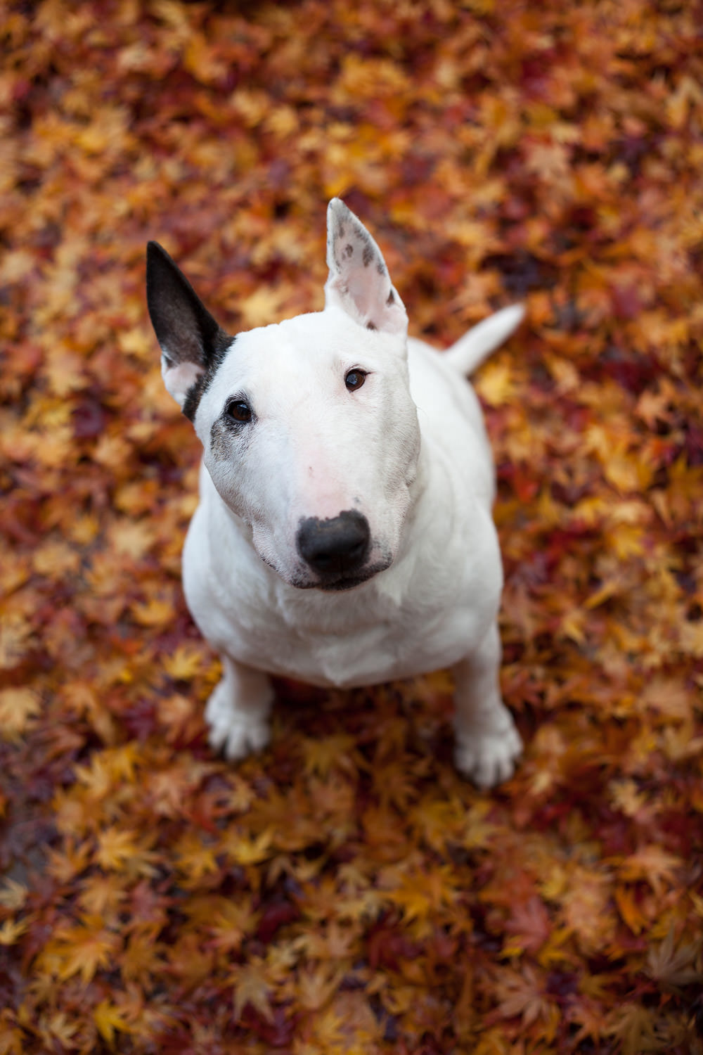 Englsih bull terrier dog looking up at camera