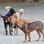 Des chiens errants