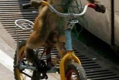 Le singe sur son vélo
