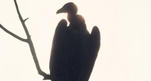 Une femme dévorée par des vautours