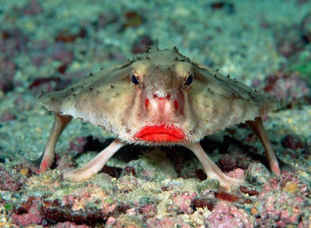 Le poisson chauve-souris à lèvres rouges