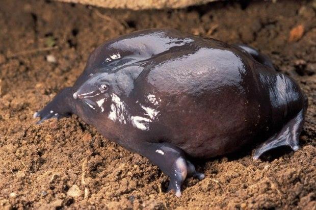 La grenouille violette d'Inde