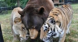 [Vidéo] Un lion, un tigre et un ours liés par une amitié insolite