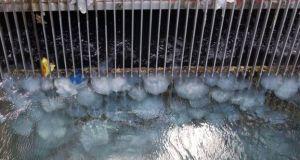 Suède : des méduses arrêtent un réacteur nucléaire pendant trois jours