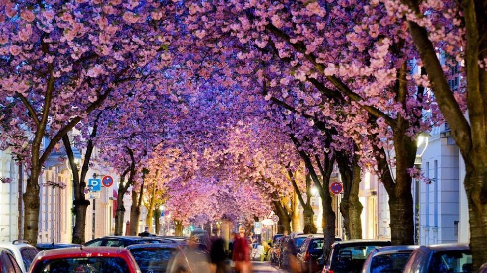 Resultado de imagen para cerezos en flor bonn alemania