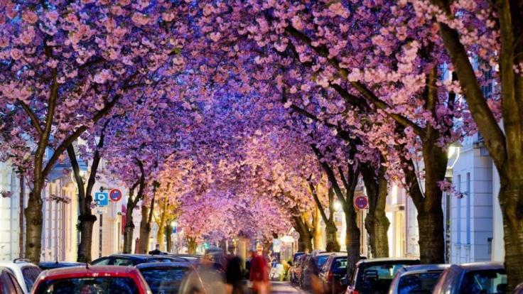 Resultado de imagen para Cerezos en flor en Bonn, Alemania