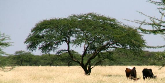 Una acacia inmensa en un campo de hierba que sirve de pasto para el ganado