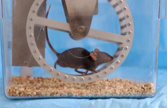 Ratón haciendo ejercicio en el Instituto Salk de California (EE. UU.)