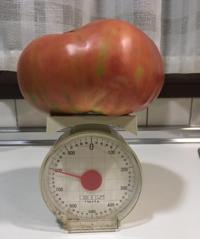 Este es uno de los tomates que planta Javier