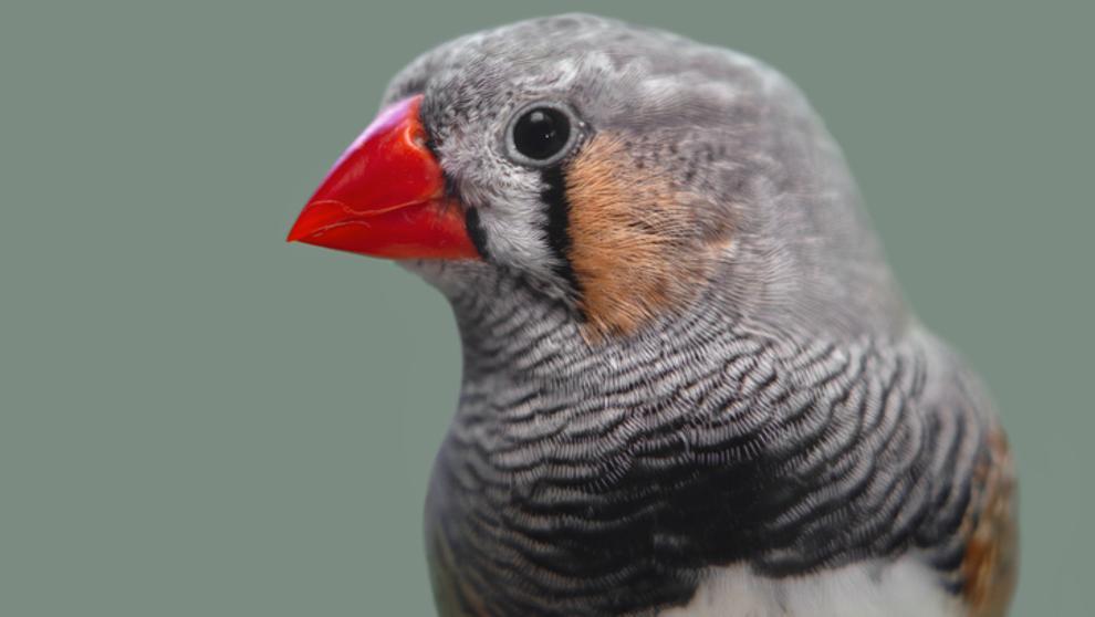 El canto de un ave puede recuperar la voz de los humanos