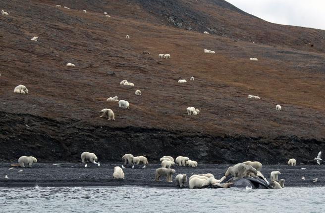 Los osos polares viven ahora un mes más en la isla Wrangel que hace dos décadas
