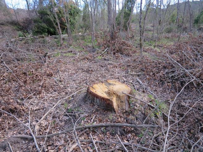 Árbol talado en la Roureda de Can Verdalet de Tordera