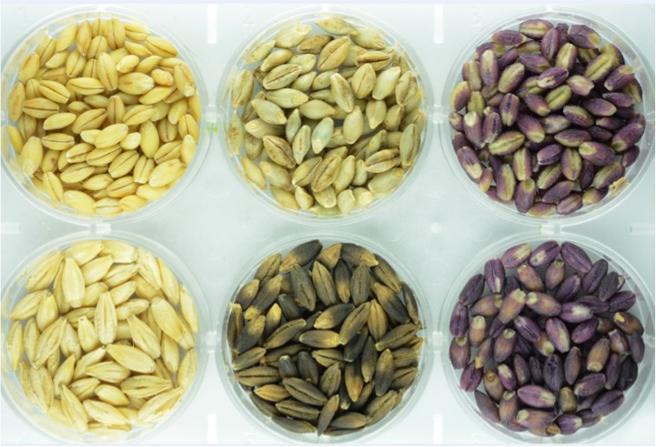 Granos de cebada desnuda con altos niveles de compuestos bioactivos