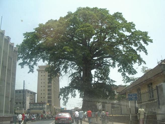 Ubicado en la capital de Sierra Leona, el árbol del algodón es un símbolo de esperanza