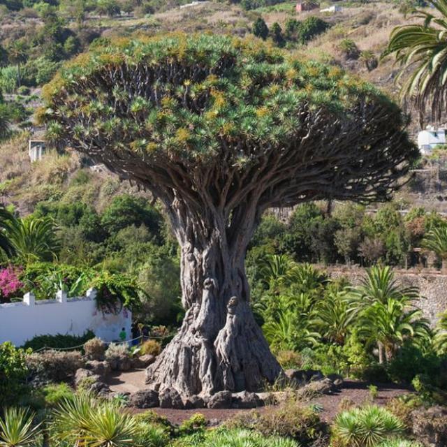 El Drago Milenario es uno de los símbolos de las Islas Canarias