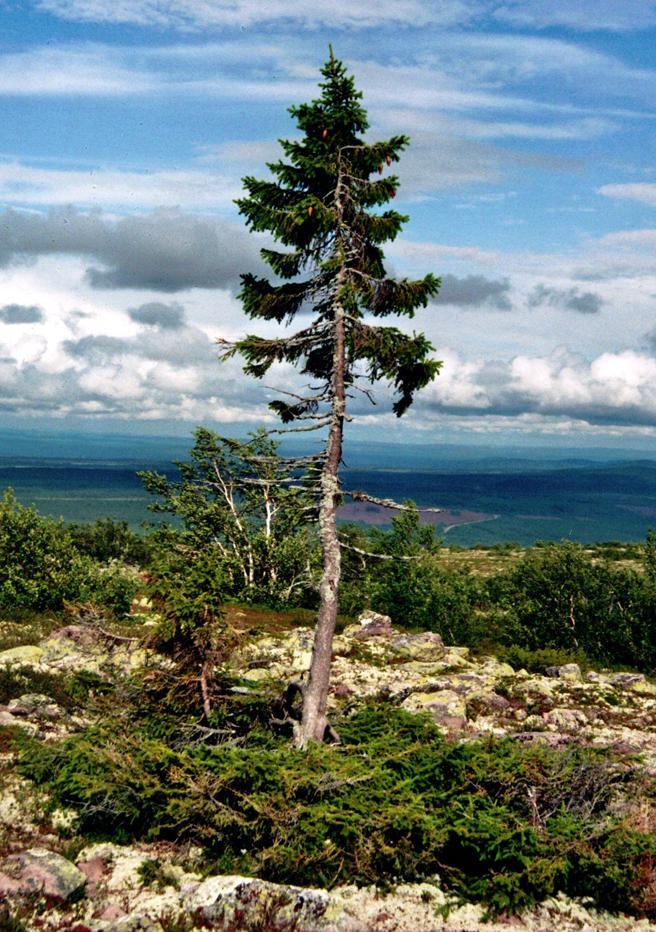 El Old Tjikko es el árbol más viejo del mundo