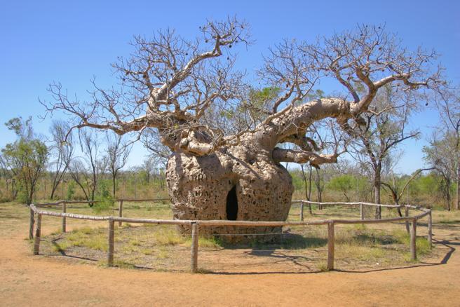 El Boab Prision Tree debe su nombre a la historia que dice que una vez fue usado como prisión