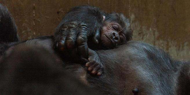 Moke descansa sobre el cuerpo de su madre, poco después del nacimiento, el domingo 15 de abril