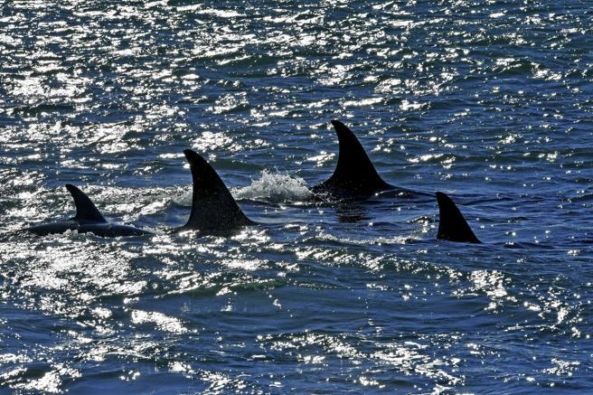 Grupo de orcas especializadas en el varamiento intencionado en la Patagonia