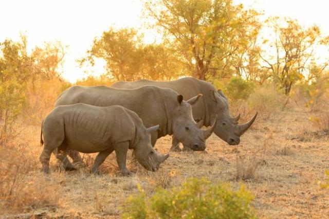 Rinocerontes en el parque nacional de Kruger (Sudáfrica)