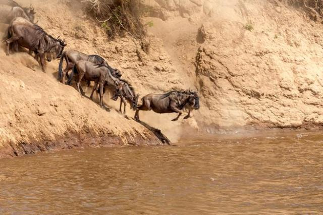 Rebaño de ñus realizando la gran migración